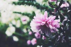 Mjuk rosa dahlia efter regnet på grön bakgrund Arkivbild