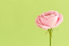 Mjuk rosa färgros på grön bakgrund Royaltyfri Fotografi