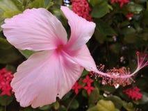 Mjuk rosa hibiskus i en trädgård royaltyfri bild