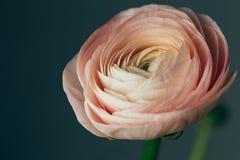 Mjuk rosa ranunculusblomma Royaltyfria Bilder