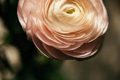 Mjuk rosa ranunculusblomma Royaltyfri Fotografi