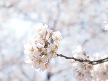 Mjuk rosa sakura (körsbär) blommanärbild Royaltyfria Foton