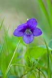 Mjuk violett altfiol på gräsbackgroung Arkivfoto