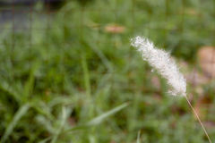 Mjuk vit gräsblomma arkivfoto