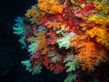 Mjuka koraller royaltyfri foto