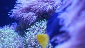 Mjuka koraller i akvarium Koraller för Closeup Anthelia och Euphyllia i rent blått vatten Marin- undervattens- liv violett arkivfilmer
