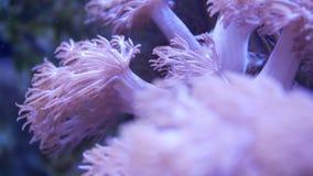 Mjuka koraller i akvarium Koraller för Closeup Anthelia och Euphyllia i rent blått vatten Marin- undervattens- liv violett stock video