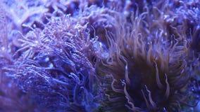 Mjuka koraller i akvarium Koraller f?r Closeup Anthelia och Euphyllia i rent bl?tt vatten Marin- undervattens- liv violett arkivfilmer