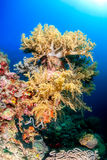 Mjuka koraller, Pescador ö, Moalboal Arkivbilder