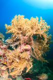 Mjuka koraller, Pescador ö, Moalboal Royaltyfri Bild