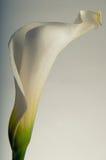 Mjuka kurvor av en Calla Lilly Arkivfoton