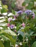 Mjuka Lung Wort Flowers Royaltyfri Fotografi