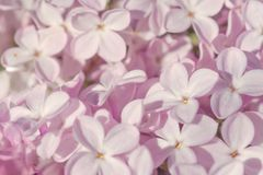 Mjuka monokromma lila blommor som ?r n?ra upp bakgrund royaltyfri fotografi
