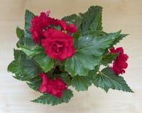 mjuka nya burgundy, den mörka begoniafrottén blommar och kronblad Fotografering för Bildbyråer