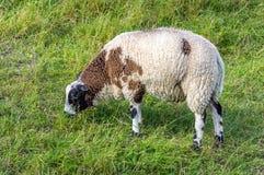 Mjuka och keliga får som betar i gräset Royaltyfri Bild
