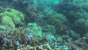 Mjuka och steniga koraller på den stora barriärrevet lager videofilmer