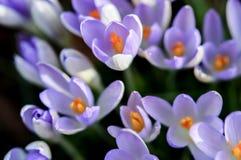 Mjuka purpurfärgade krokusar stänger sig upp Royaltyfria Bilder