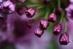 Mjuka rosa körsbärsröda blomningar i vår Arkivbild