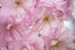 Mjuka rosa körsbärsröda blomningar i vår Arkivfoton