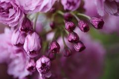Mjuka rosa körsbärsröda blomningar i vår Royaltyfri Fotografi