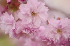 Mjuka rosa körsbärsröda blomningar i vår Royaltyfria Foton