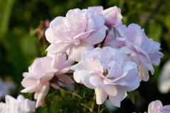 Mjuka rosa rosor. Arkivfoto