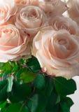 Mjuka rosor härliga ro romantiker Royaltyfri Bild