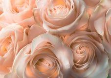 Mjuka rosor härliga ro romantiker Arkivfoto