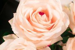 Mjuka rosor härliga ro romantiker Arkivbilder