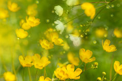 Mjuka vårblommor för Ranunculus Fotografering för Bildbyråer