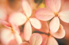 Mjuka vanlig hortensiablommor royaltyfria bilder