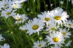 Mjuka vita blommor Royaltyfria Bilder