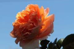 Mjukhet av rosen i solen arkivbilder