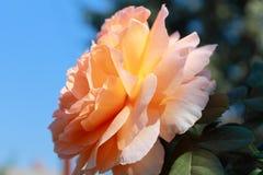 Mjukhet av rosen i solen royaltyfria foton