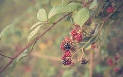 Mjukt foto av dewberries på buske royaltyfri bild
