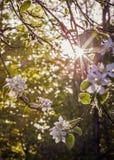 Mjukt glänsande solljus på Apple blomstrar på våren Arkivfoton