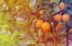 Mjukt ljus av Kumquatträdet i lantgården Persikablomningträdet, Kumquat är en av 2 måste ha träd i vietnames arkivfoton