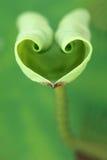 Mjukt lotusblommablad Royaltyfri Fotografi