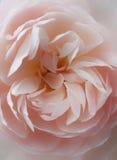 Mjukt rosa färgrosslut upp royaltyfria bilder