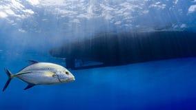 Mknięcia bluefin trevally fotografia royalty free