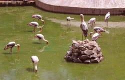 målade storks Royaltyfria Bilder