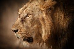 Mâle asiatique de lion Photos stock