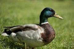 Mâle de canard Images libres de droits