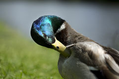 Mâle de canard Image libre de droits