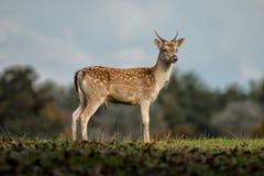 Mâle de cerfs communs affrichés Image libre de droits