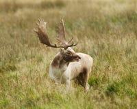 Mâle de cerfs communs affrichés se tournant vers l'action de vue Photographie stock