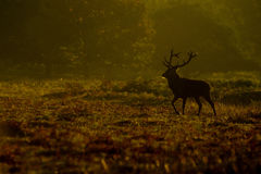 Mâle de cerfs communs rouges (elaphus de Cervus) dans le matin Image libre de droits