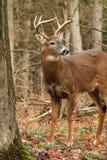Mâle de cerfs de Virginie Images libres de droits