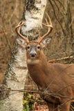 Mâle de cerfs de Virginie Photographie stock libre de droits