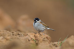 Mâle Reed Bunting commun au sol Photographie stock